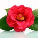 Cveće kamelija gajenje, zalivanje, sadnja i razmnožavanje