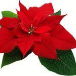 Sobno cveće božićna zvezda gajenje, održavanje, presađivanje