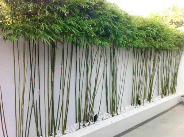 bambus u vrtu gajenje