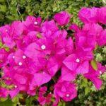 Bugenvilija uzgoj, sadnja, razmnožavanje, orezivanje, bolesti
