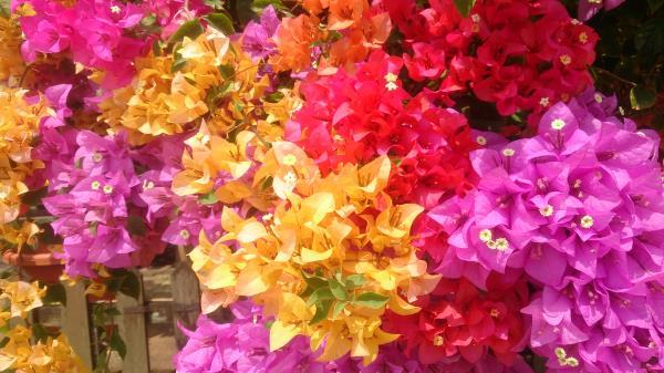 cvijece bugenvilija boje