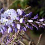 Glicinija uzgoj, orezivanje, razmnožavanje i sadnja