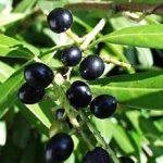 Lovor višnja uzgoj, sadnja, orezivanje, bolesti