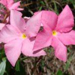 Dipladenija, Mandevila ili Brazilski jasmin uzgoj i održavanje