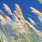 Pampas trava uzgoj, sadnja, razmnožavanje