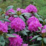 Rododendron uzgoj, održavanje, razmnožavanje, bolesti