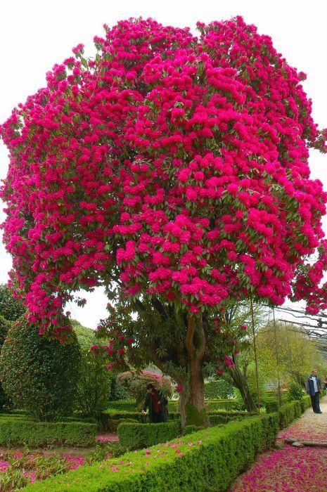 rododendron bolesti