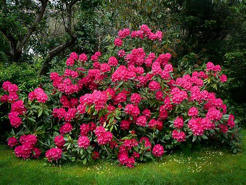 rododendron drvo
