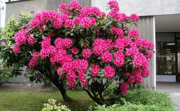 rododendron odrzavanje