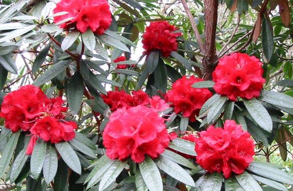 rododendron razmnozavanje