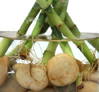 sretni bambus uzgoj
