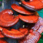 Gljiva Reiši drevni lek kraljeva: Lekovitost, upotreba, čaj