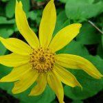 Lekovita biljka arnika  – gel i krema za lice i kosu