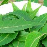 Nim (Neem) prah, ulje, čaj – upotreba i lekovitost za lice, sinuse…