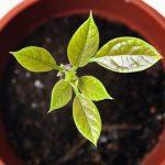 Sadnja i uzgoj avokada u loncu iz semena