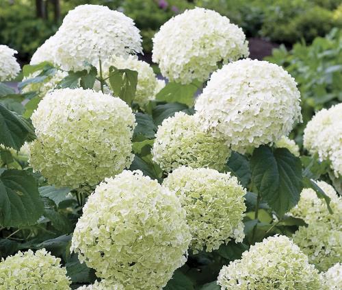 bela hortenzija uzgoj