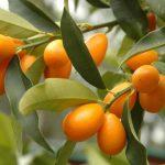 Kumkvat uzgoj – kako gajiti mini pomorandže