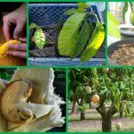 Mango voće uzgoj – kako posaditi i gajiti mango
