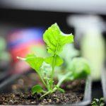 Sadnja, uzgoj i nega rukole – vodič za početnike