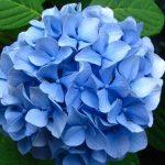 Cveće hortenzija – uzgoj, sadnja, razmnožavanje, orezivanje, bolesti
