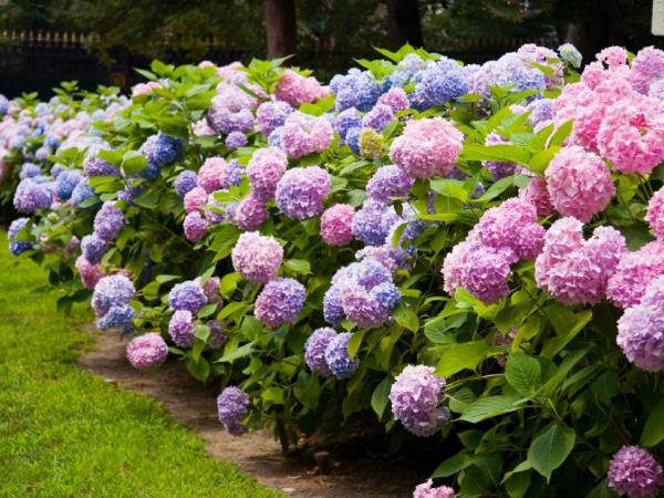hortenzija sadnja