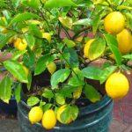 Uzgoj limuna u posudi, sadnja, orezivanje, nega i održavanje