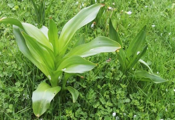 mrazovac biljka