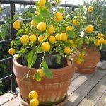 Limun mesecar – Kako se sadi i gaji