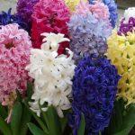 Zumbul cvet sadnja, uzgoj, održavanje