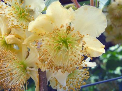 Muski cvet