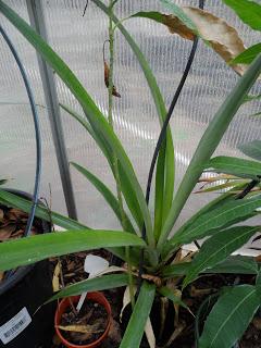 ananas uzgajanje