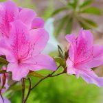 Cveće azaleja – uzgoj u bašti i saksiji