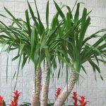 Drvo života (cveće juka) uzgoj, nega, presađivanje, razmnožavanje