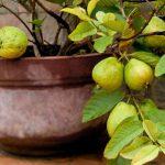 Guava voće uzgoj u saksiji i razmnožavanje