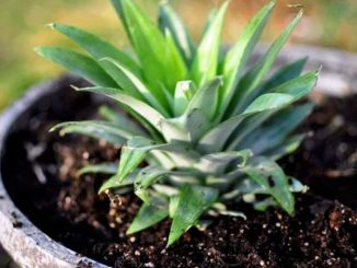kako se uzgaja ananas