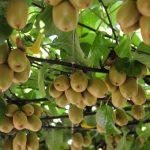 Vodič za uzgoj kivija – sadnja, nega, orezivanje, berba i skladištenje