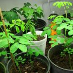 Moringa drvo života, uzgoj i lekovitost