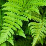 Paprat porodica biljaka – slatka, šumska, zlatna