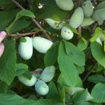 Indijanska banana (pav pav) uzgoj i lekovita svojstva