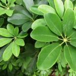 Sobno cveće šeflera (kišobran drvo) – uzgoj, nega, održavanje, bolesti