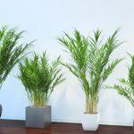 Sobna palma uzgoj – osnove i saveti
