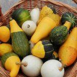 Ukrasne tikvice uzgoj, sadnja, berba, vrste