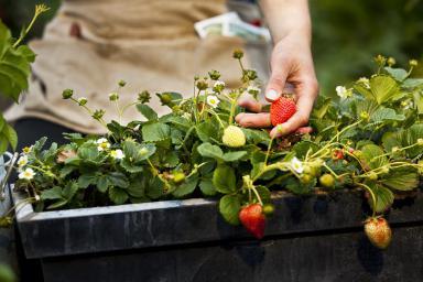 uzgoj jagoda na balkonu