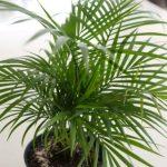 Bambus palma uzgoj, nega, orezivanje, presađivanje