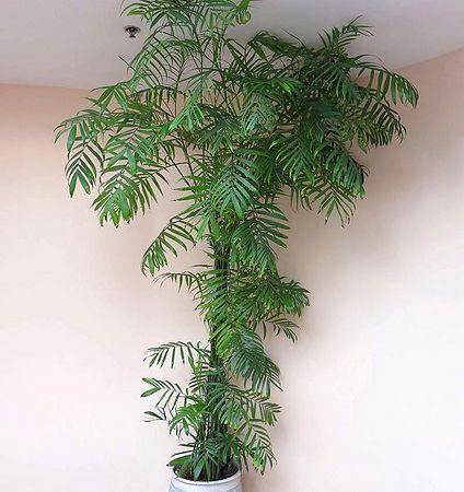 Bambus palma
