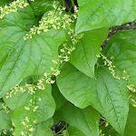 Lekovita biljka bljušt dobra za reumu, išijas, modrice ali i mnoge druge bolesti