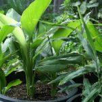 10 saveta za uzgoj kurkume u bašti i saksiji