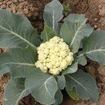 Karfiol sadnja i uzgoj