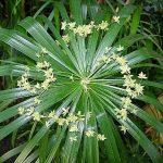 Vodena palma – uzgoj, nega, presađivanje, razmnožavanje