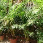 Kućna areka (areca) palma uzgoj i održavanje